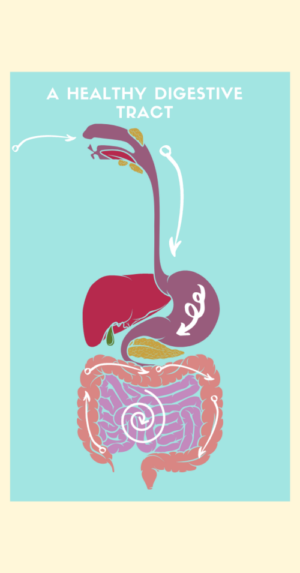 Diagram of how food moves through a healthy gut
